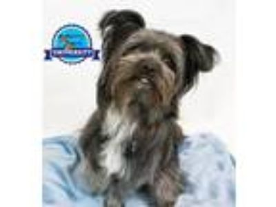 Adopt Rockster a Yorkshire Terrier