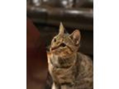Adopt Mary a Brown Tabby Domestic Shorthair (short coat) cat in New York