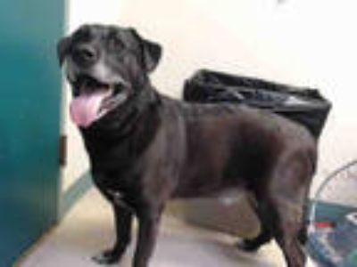 Adopt a Black - with White Labrador Retriever / Mixed dog in Pasadena