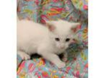 Adopt Desi 30716 a White Domestic Shorthair / Mixed (short coat) cat in