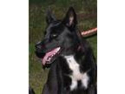 Adopt Loki *Graduate* a Black Husky / Mixed dog in Ashland, VA (22809238)
