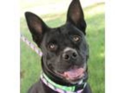 Adopt Sassy a Black Pit Bull Terrier / Labrador Retriever / Mixed dog in Red