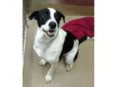 Adopt Luna a Border Collie, Labrador Retriever