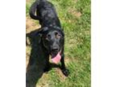 Adopt Duke a Black Labrador Retriever / Mixed dog in Watauga, TX (25086795)