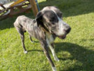 Adopt a Gray/Silver/Salt & Pepper - with White Great Dane / Pointer / Mixed dog