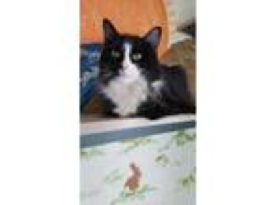 Adopt Collette a All Black Domestic Shorthair / Domestic Shorthair / Mixed cat