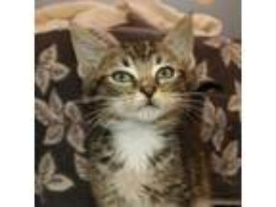 Adopt Muffler a Domestic Shorthair / Mixed cat in Alpharetta, GA (25253409)