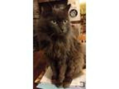 Adopt Jekyll & Hyde a Domestic Longhair / Mixed cat in Ellijay, GA (24301521)