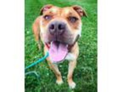 Adopt Vivian a Tan/Yellow/Fawn American Pit Bull Terrier / Mixed dog in