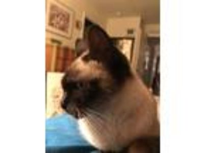 Adopt CoCo a Tan or Fawn (Mostly) Siamese cat in Carlsbad, CA (25901724)