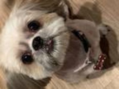 Adopt Gizzy a White - with Tan, Yellow or Fawn Shih Tzu / Mixed dog in Orlando