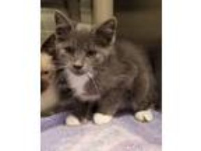 Adopt Orion a Gray or Blue (Mostly) Domestic Shorthair / Mixed (short coat) cat