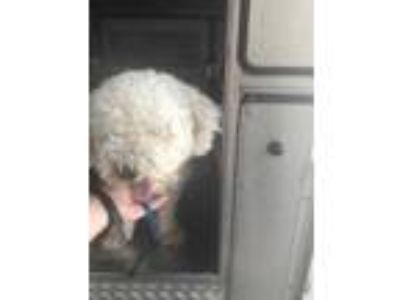 Adopt Arnold a White Bichon Frise / Mixed dog in Fort Worth, TX (25529894)