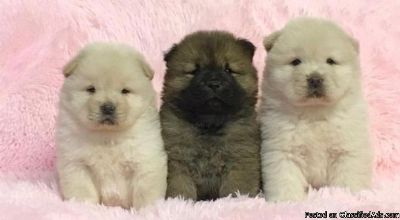 free Rare Tiny American Cocker Chow Chow for free text or call us 513-453