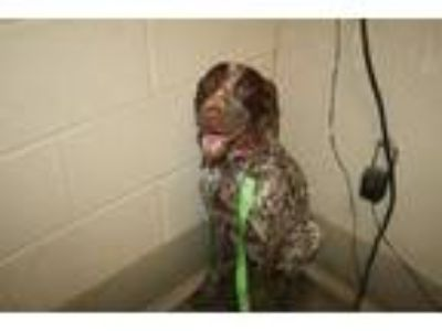 Adopt A521661 a German Shorthaired Pointer