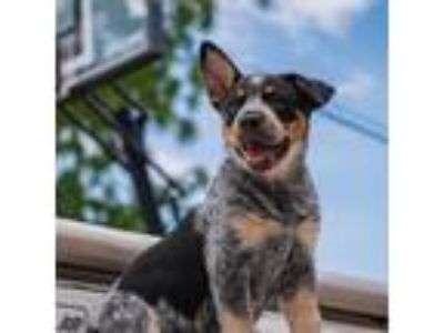 Adopt Miss Bee D190991: PENDING ADOPTION a Australian Cattle Dog / Blue Heeler