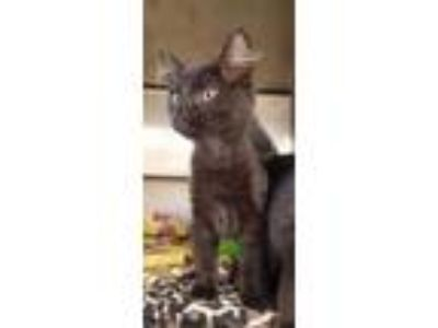 Adopt Costello a All Black Domestic Shorthair / Domestic Shorthair / Mixed cat