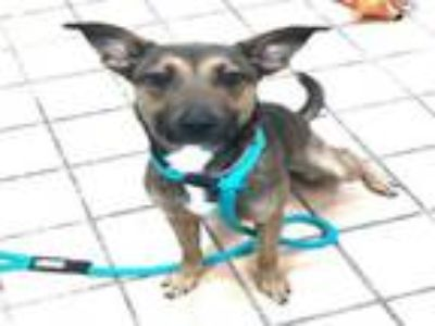 Adopt SOLSTICE a German Shepherd Dog, Mixed Breed