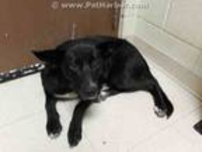 Adopt JUNIPER a Black - with White Labrador Retriever / Mixed dog in Rogers