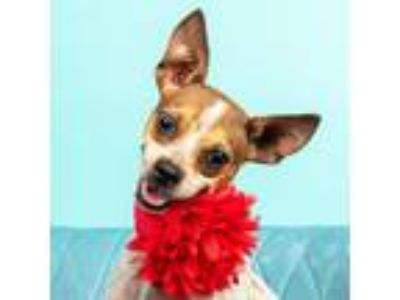 Adopt Peppy a White - with Red, Golden, Orange or Chestnut Toy Fox Terrier /