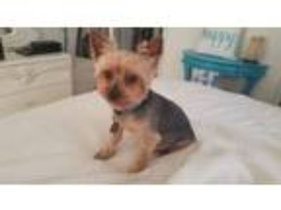 Adopt A foster needed for Buddy a Yorkshire Terrier