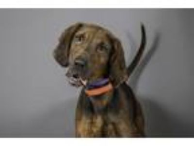 Adopt SHAE a Bluetick Coonhound, Mixed Breed