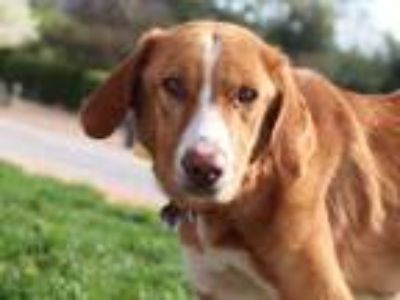 Adopt SANDY a Tan/Yellow/Fawn - with White Labrador Retriever / Mixed dog in St.