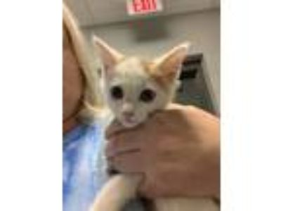 Adopt Blaze a White (Mostly) Domestic Shorthair (short coat) cat in Henderson