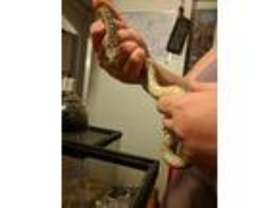 Adopt Mr. Gopher a Snake reptile, amphibian, and/or fish in Lancaster