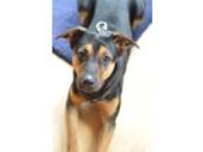 Adopt Asher a Brown/Chocolate - with Black Miniature Pinscher / Mixed dog in