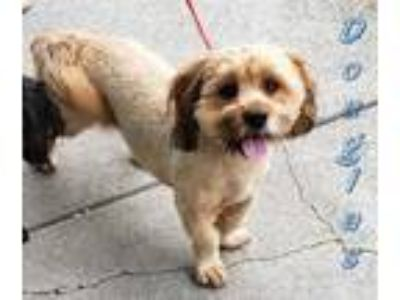 Adopt DOUGLAS a Brown/Chocolate - with Tan Dachshund / Lhasa Apso / Mixed dog in