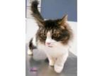Adopt Janey a White Domestic Mediumhair / Domestic Shorthair / Mixed cat in