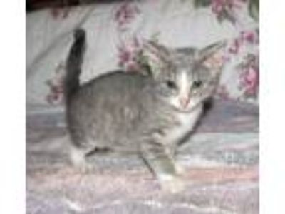 Adopt Grady (baby boy) a Gray or Blue (Mostly) Domestic Shorthair / Mixed (short
