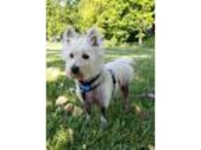 Adopt JOSIE a West Highland White Terrier Westie