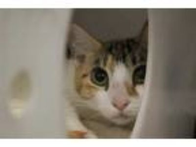 Adopt FLASH a Calico or Dilute Calico Domestic Shorthair / Mixed (short coat)