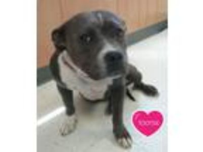 Adopt Tootsie a Pit Bull Terrier, Mixed Breed