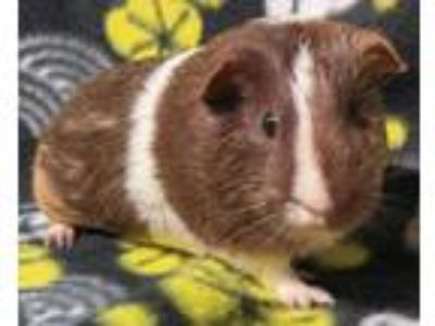 Adopt Spinach a Brown or Chocolate Guinea Pig small animal in Highland