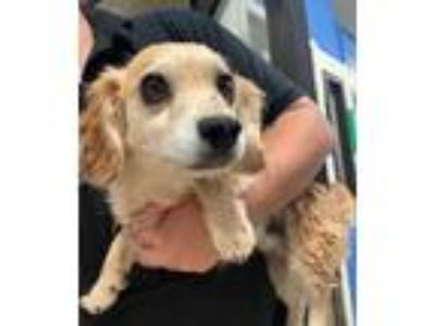 Adopt Sven- Chino Hills a Tan/Yellow/Fawn - with Black Dachshund / Mixed dog in