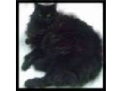 Adopt Pudgey a Domestic Long Hair