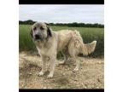 Adopt Turner a Great Pyrenees