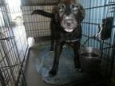 Adopt Marvin a Labrador Retriever