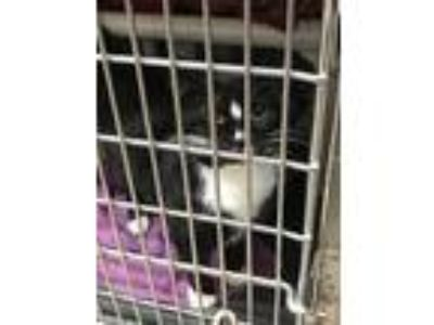 Adopt Socks a Domestic Short Hair