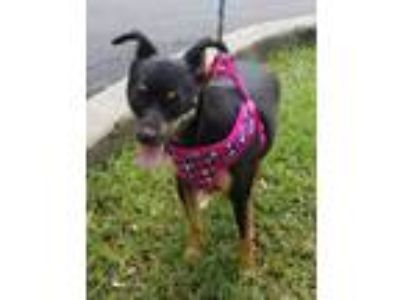 Adopt Bonnie a Miniature Pinscher, Rat Terrier