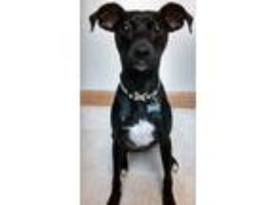 Adopt Dudley a Black - with White Italian Greyhound / Miniature Pinscher / Mixed