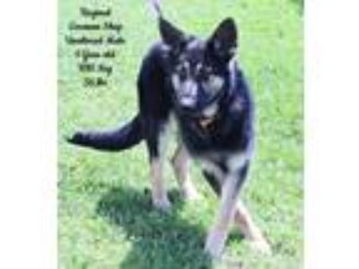 Adopt Reginal a German Shepherd Dog