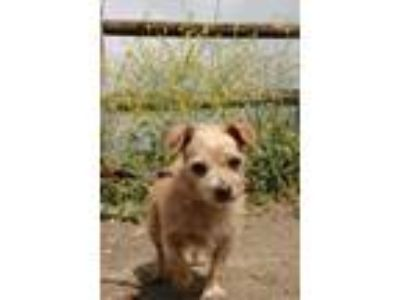 Adopt Buddy a Tan/Yellow/Fawn Terrier (Unknown Type, Small) / Mixed dog in