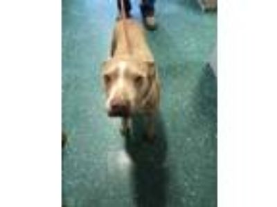 Adopt Vanessa a Tan/Yellow/Fawn Weimaraner / Mixed dog in Florence