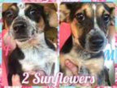 Adopt 2 Sunflowers a Merle Blue Heeler / Mixed dog in Corinth, NY (25340957)