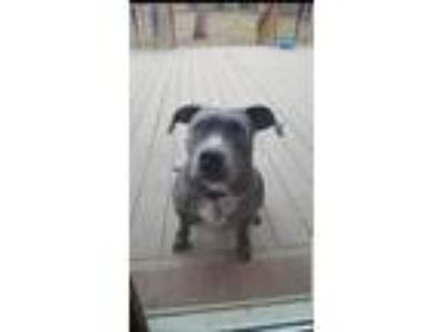 Adopt Alora a Gray/Blue/Silver/Salt & Pepper American Pit Bull Terrier / Mixed
