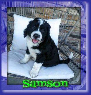 Samson Male Mini Bernedoodle